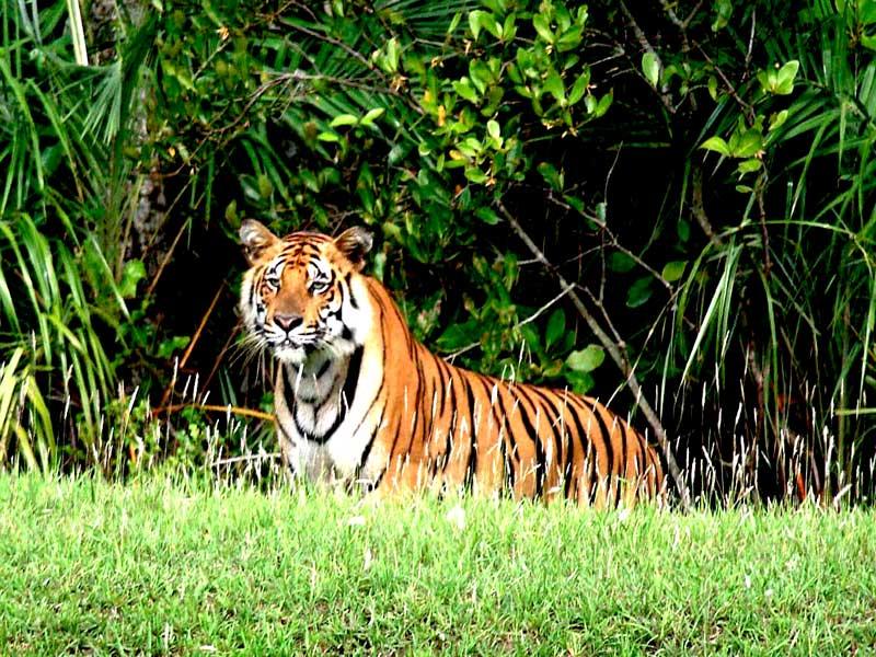 Royal Bengal Tiger of Sundarban