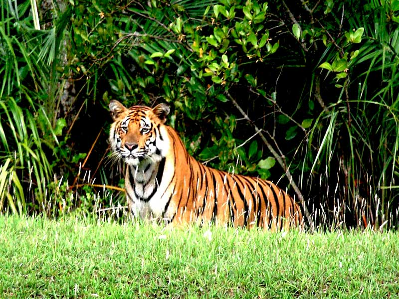Royal Bengal Tiger of Sundarban